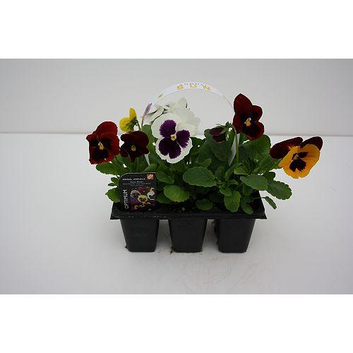 Plante annuelle de printemps, ens. de 6