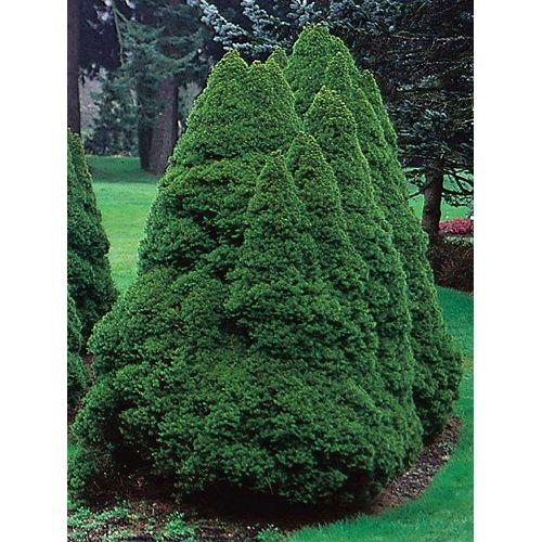 Landscape Basics 5 Gallon Dwarf Alberta Spruce