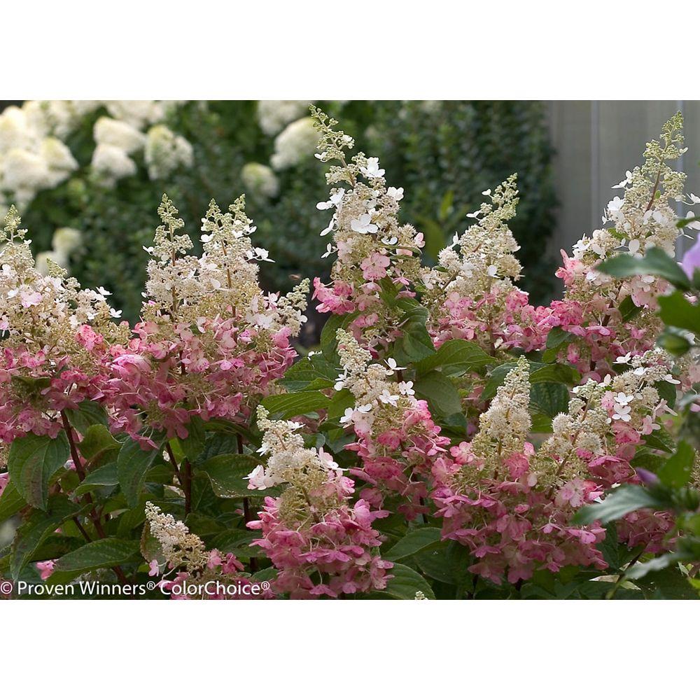 Proven Winners 5 Gallon PW Pinky Winky Hydrangea Tree