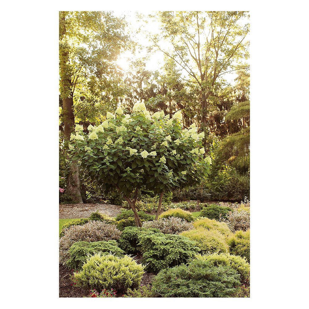 Proven Winners 5 Gallon PW Limelight Hydrangea Tree