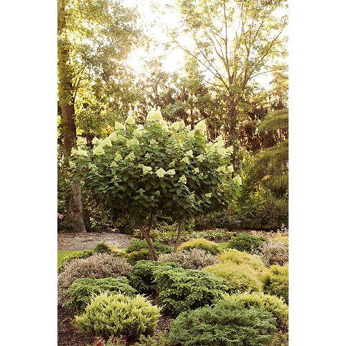 Proven Winners 5 Gallon PW Limelight Hydrangea Tree