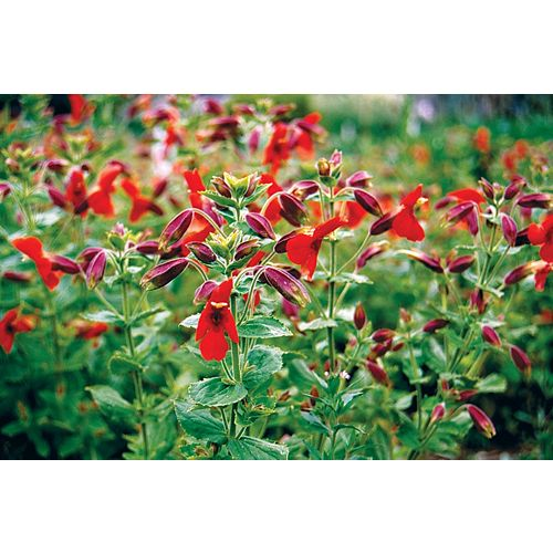 Mimulus Red Dragon Seeds
