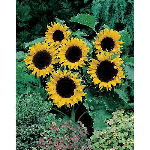 Sunflower Mezzulah F1 Seeds