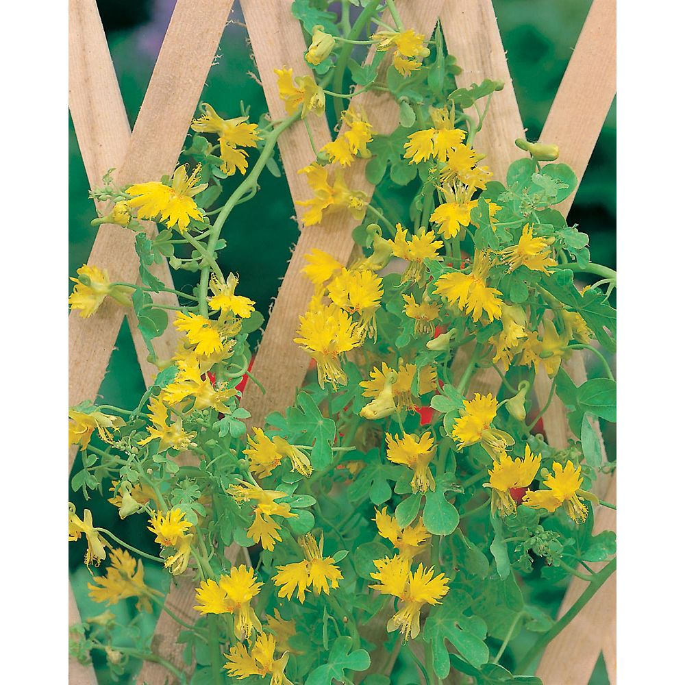 Mr. Fothergill's Seeds Fun Seeds Climbing Canaries                        (Canary Creeper)