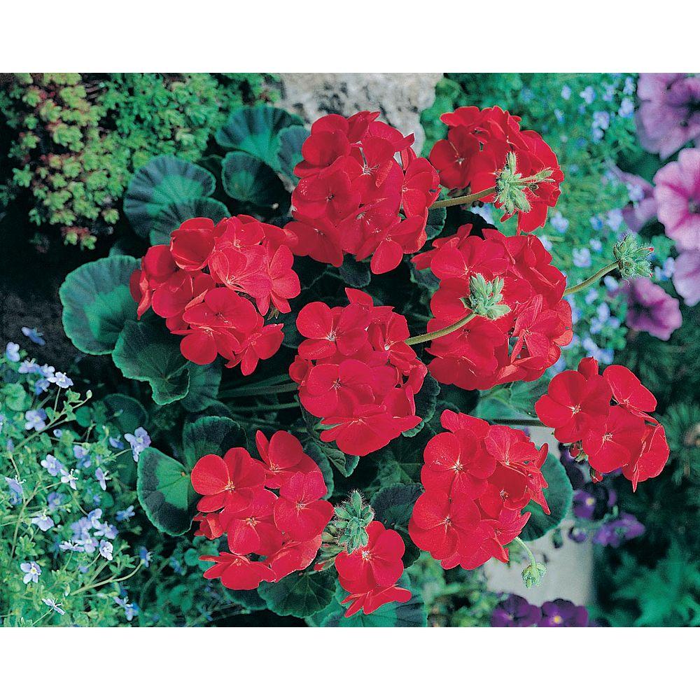 Mr. Fothergill's Seeds Geranium Moulin Rouge Seeds