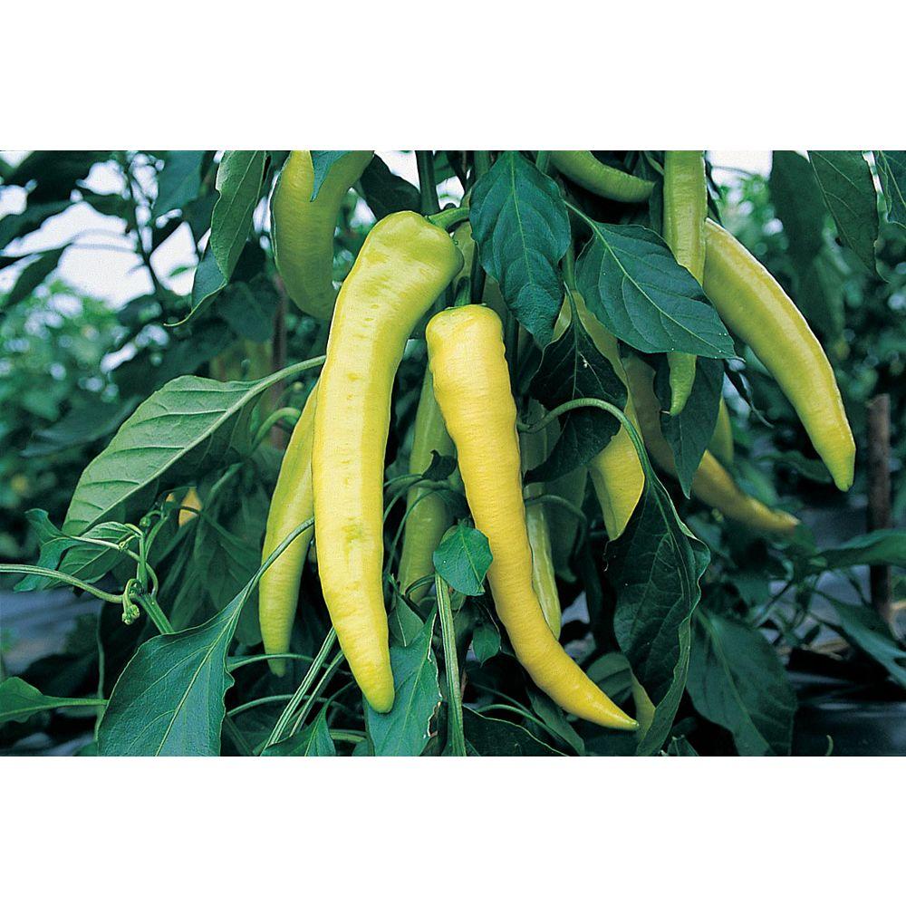 Mr. Fothergill's Seeds Pepper Sweet Banana Seeds