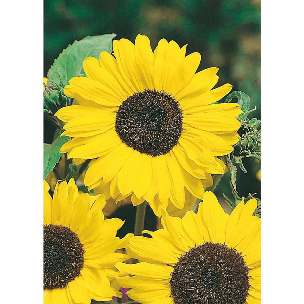 Mr. Fothergill's Seeds Sunflower Lemon Queen Seeds