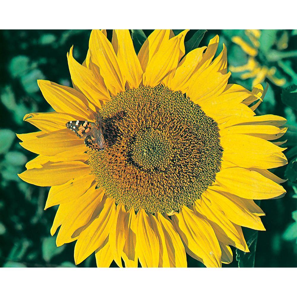 Mr. Fothergill's Seeds Sunflower Titan Seeds