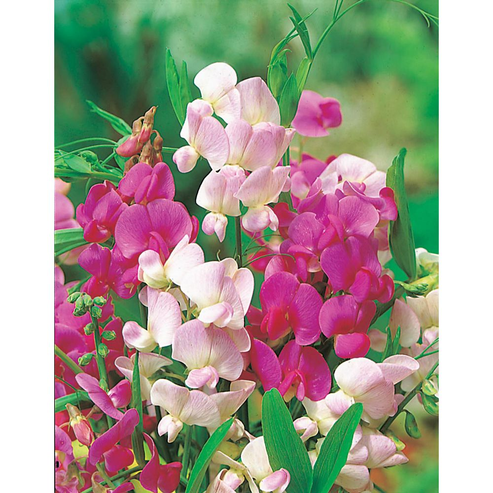 Mr. Fothergill's Seeds Sweet Pea Everlasting Mixed Seeds