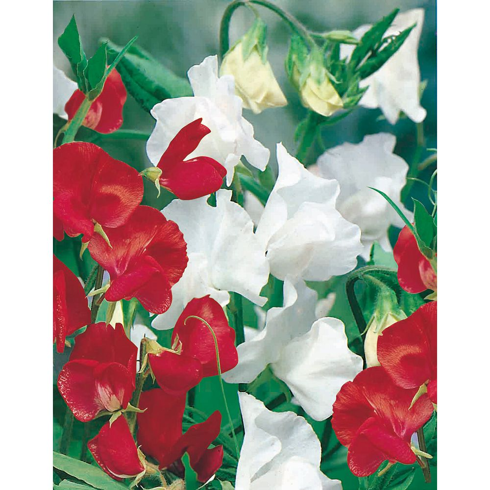 Mr. Fothergill's Seeds Sweet Pea Canada Day Seeds