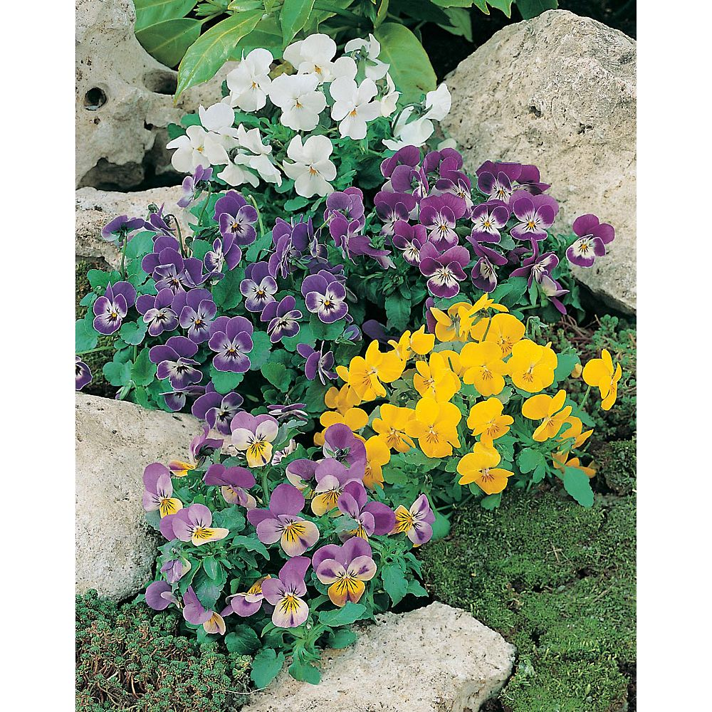 Mr. Fothergill's Seeds Viola Comedy Mixed Seeds