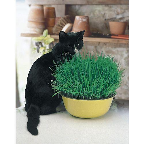 Cat Grass (Avina Sativa) Seeds