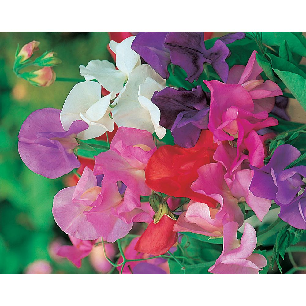 Johnsons Seeds Sweet Pea Giant Waved Mixed Seeds