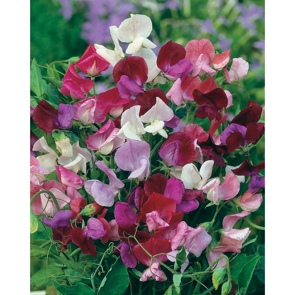 Johnsons Seeds Sweet Pea Old Fashioned Mixed Seeds