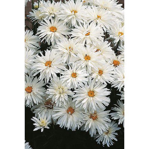 Chrysanthemum Crazy Daisy Seeds