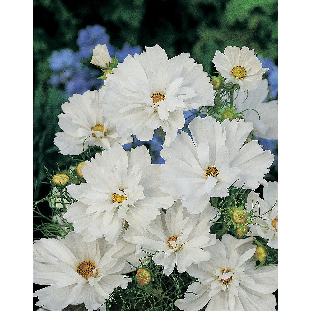 Johnsons Seeds Cosmos Psyche White Seeds