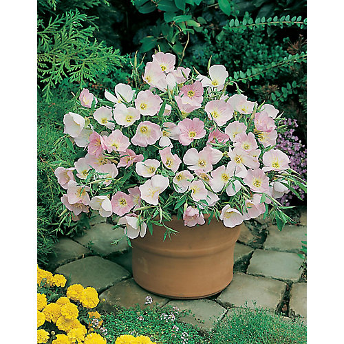 Evening Primrose Silky Orchid Seeds