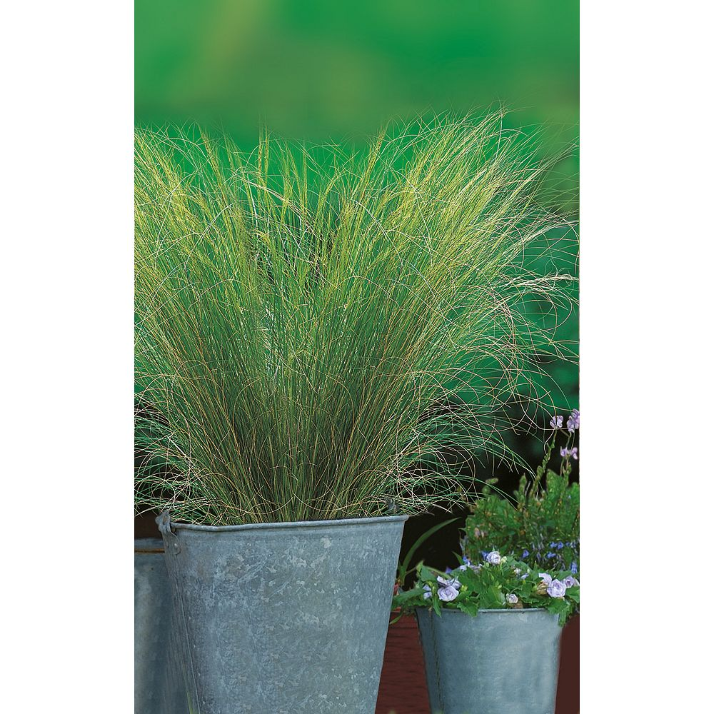 Johnsons Seeds Ornamental Grass Pony Tails Seeds
