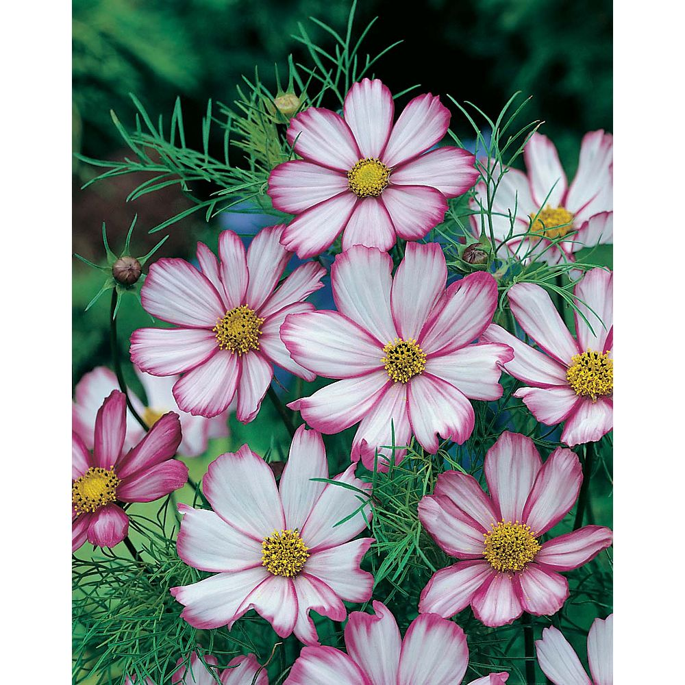 Mr. Fothergill's Seeds Cosmos Picotee Seeds