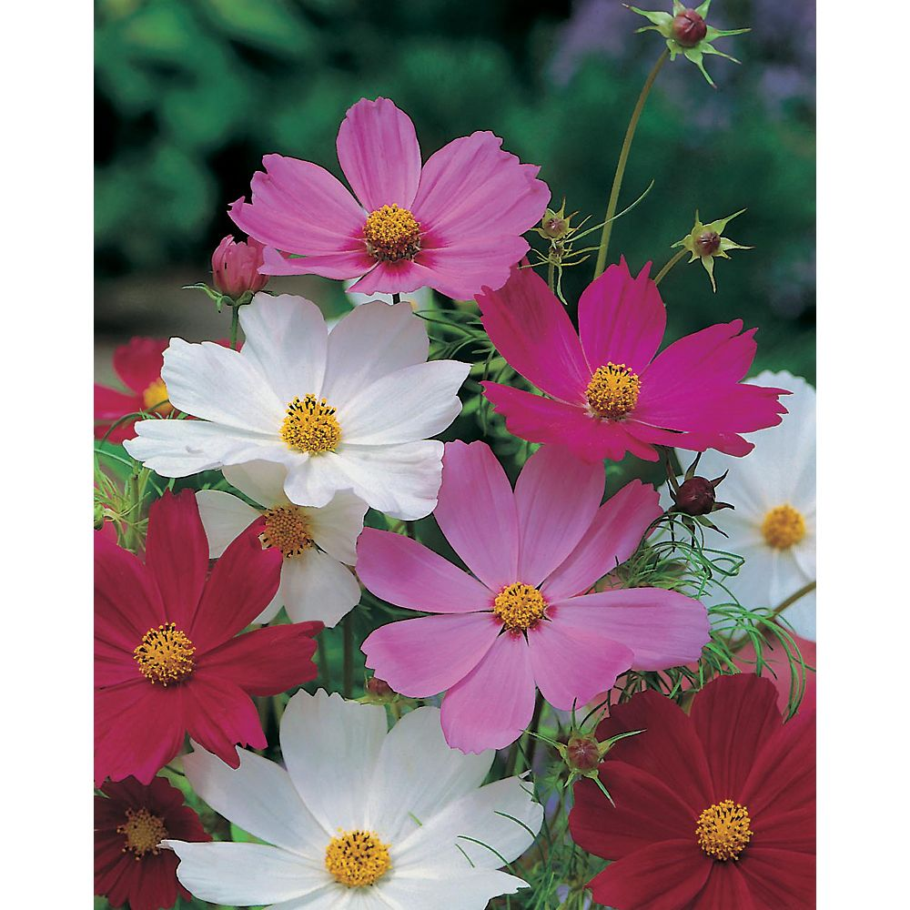 Mr. Fothergill's Seeds Cosmos Sensation Mixed Seeds