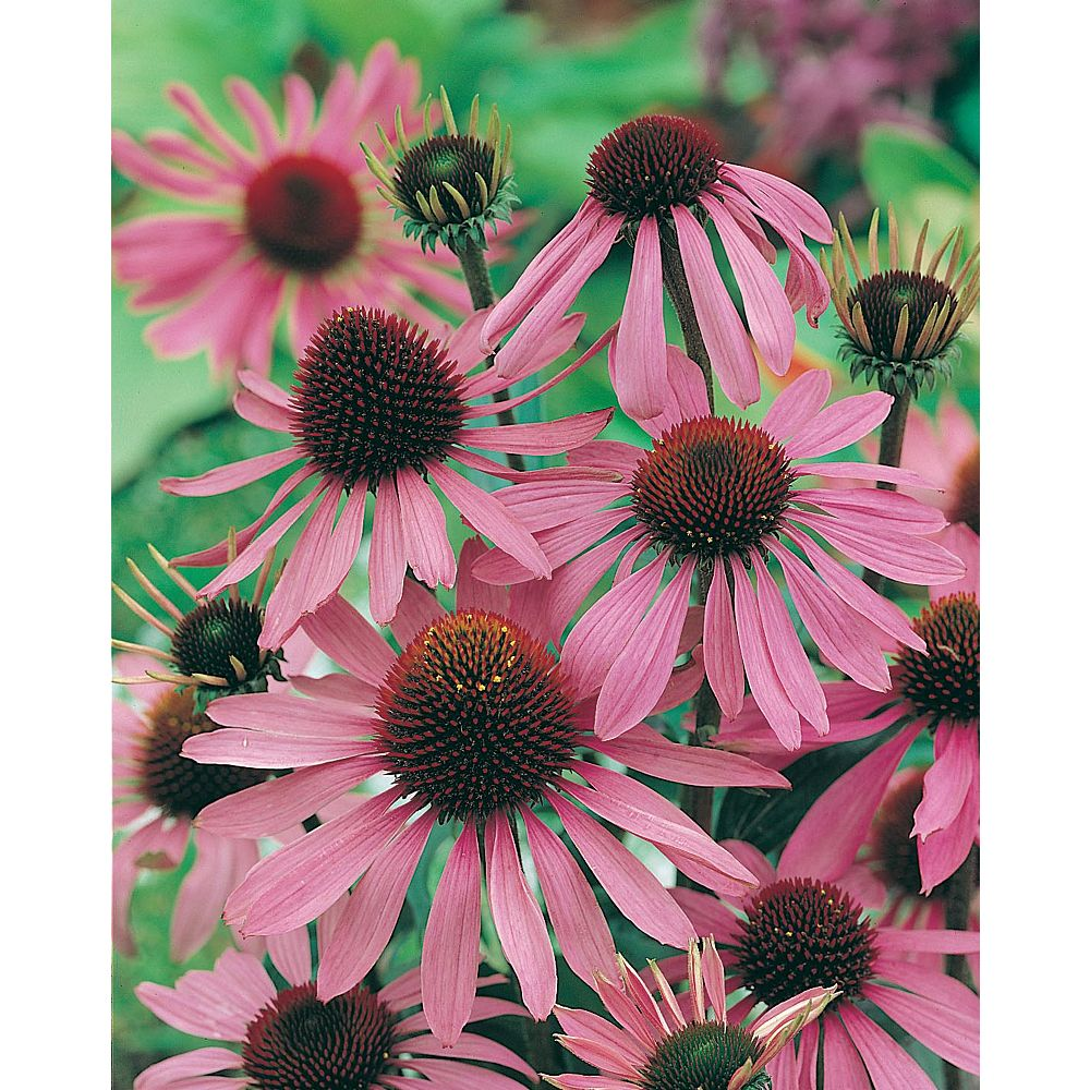 Mr. Fothergill's Seeds Echinacea Purple Coneflower Seeds