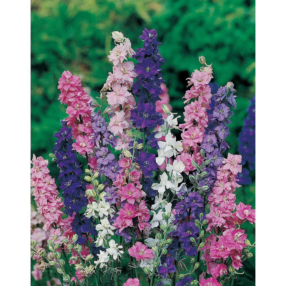 Mr. Fothergill's Seeds Larkspur Giant Imperial Mixed Seeds