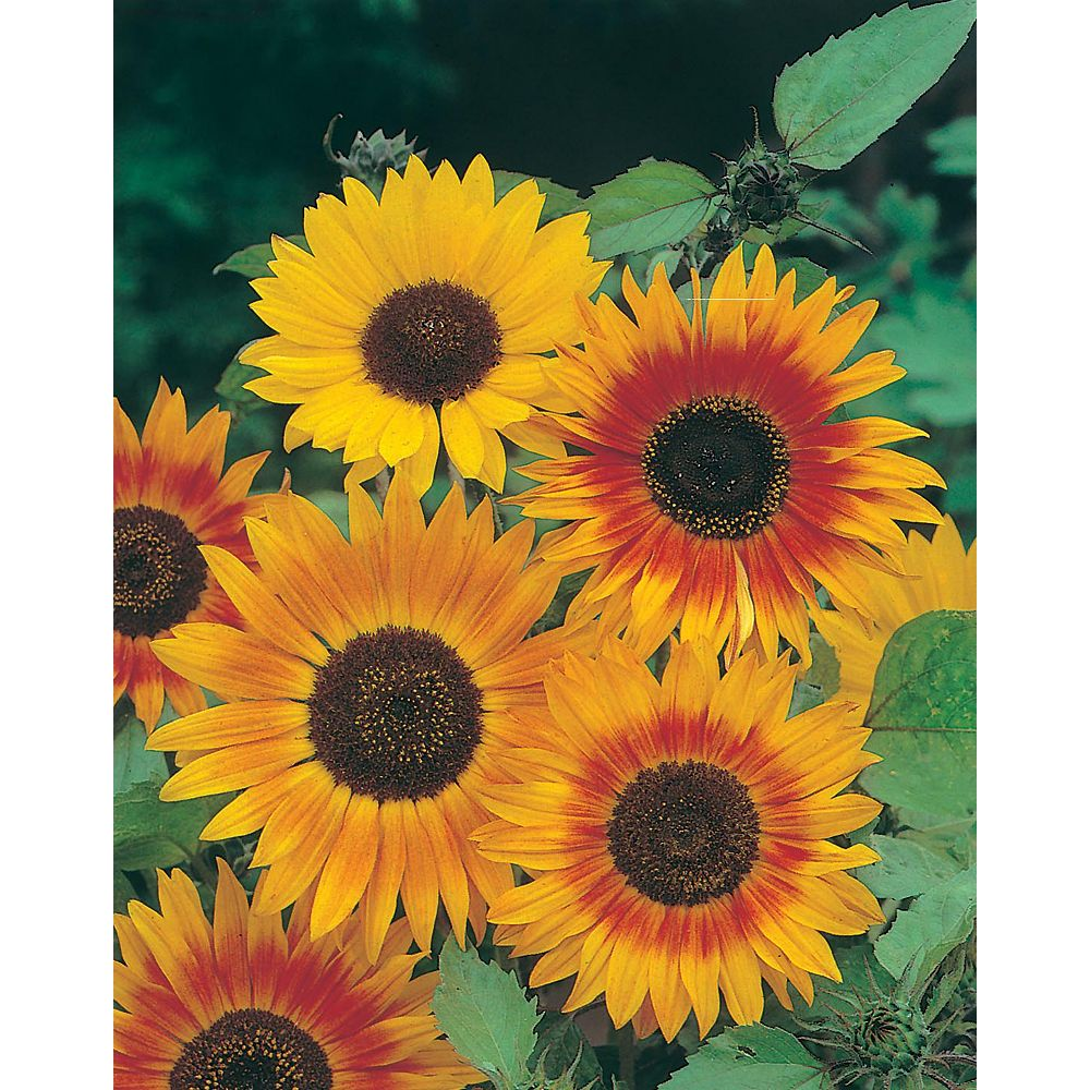 Johnsons Seeds Sunflower Autumn Beauty Seeds
