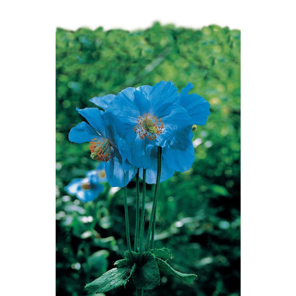 Mr. Fothergill's Seeds Poppy Tibetan Blue Seeds