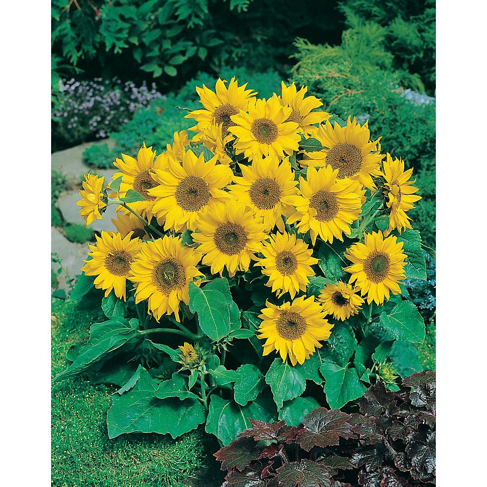 Mr. Fothergill's Seeds Sunflower Pacino Seeds