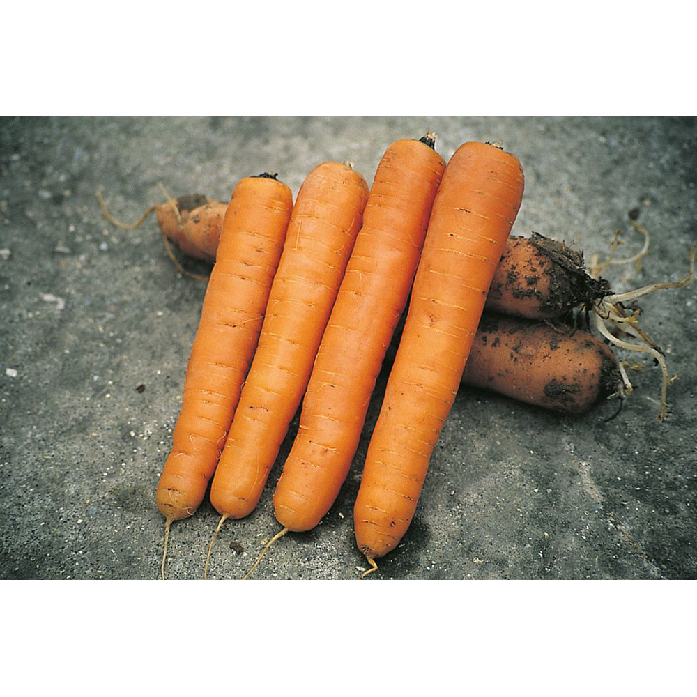 Mr. Fothergill's Seeds Carrot Maestro F1 Seeds