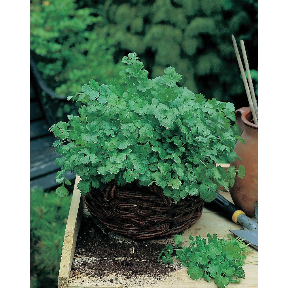 Mr. Fothergill's Seeds Coriander Cilantro For Leaf Seeds (8cm Mat)