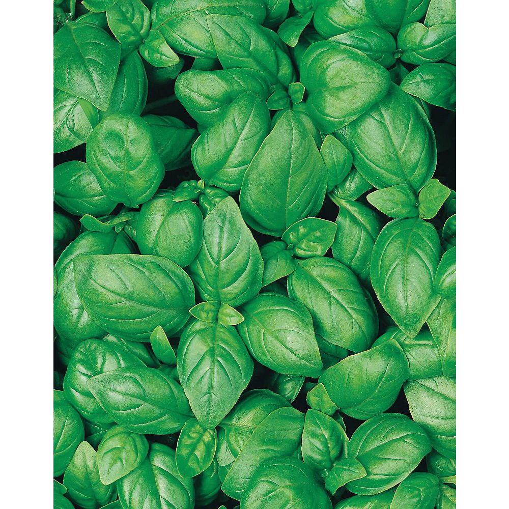 Mr. Fothergill's Seeds Basil Sweet - Organic Seeds