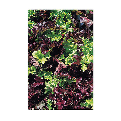 Lettuce Red & Green Salad Bowl Mixed Seeds
