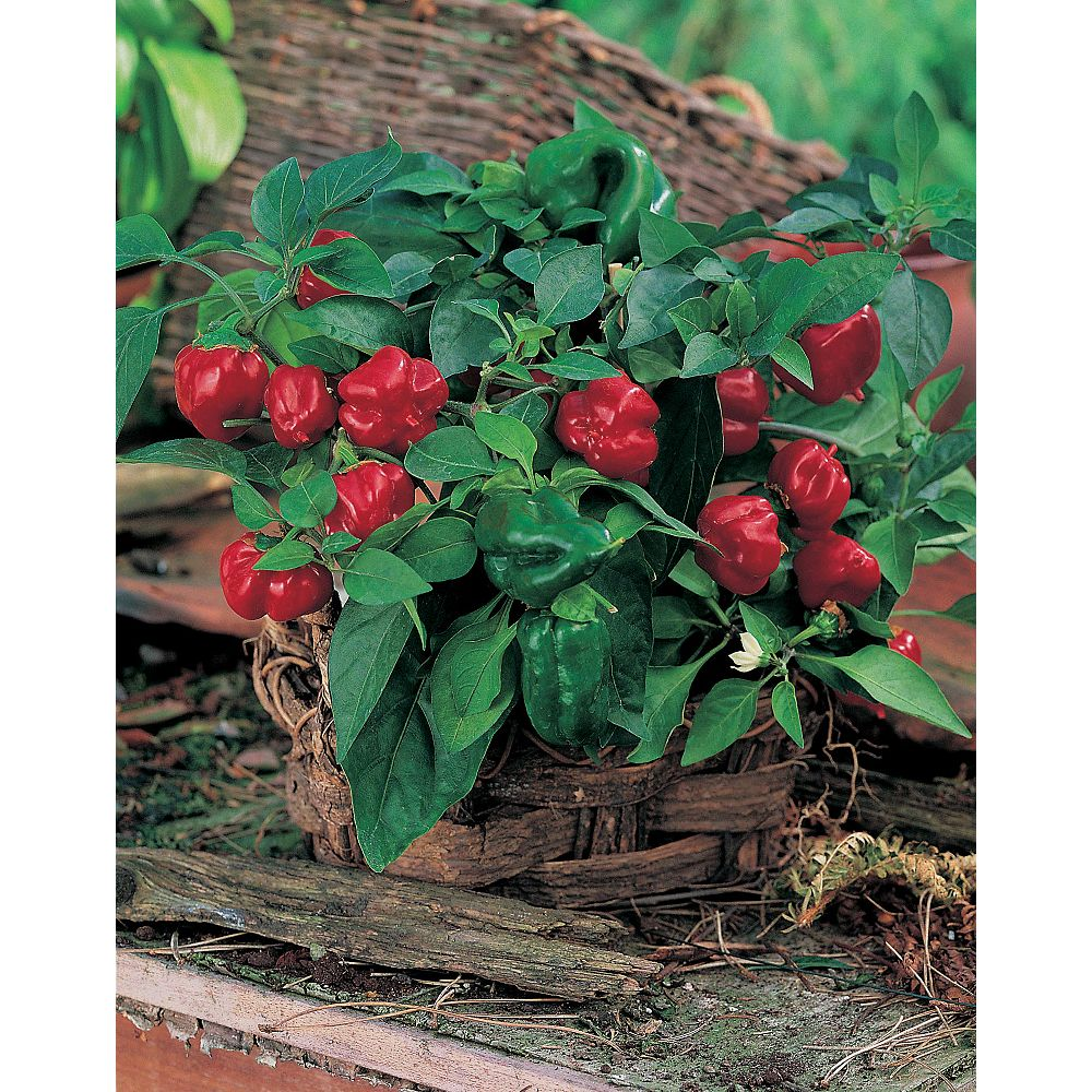 Johnsons Seeds Pepper (Sweet) Patio Red Seeds