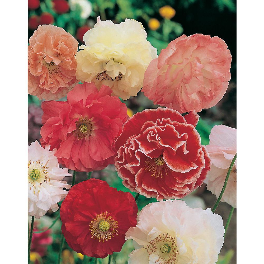 Mr. Fothergill's Seeds Poppy Shirley Double Mixed Seeds