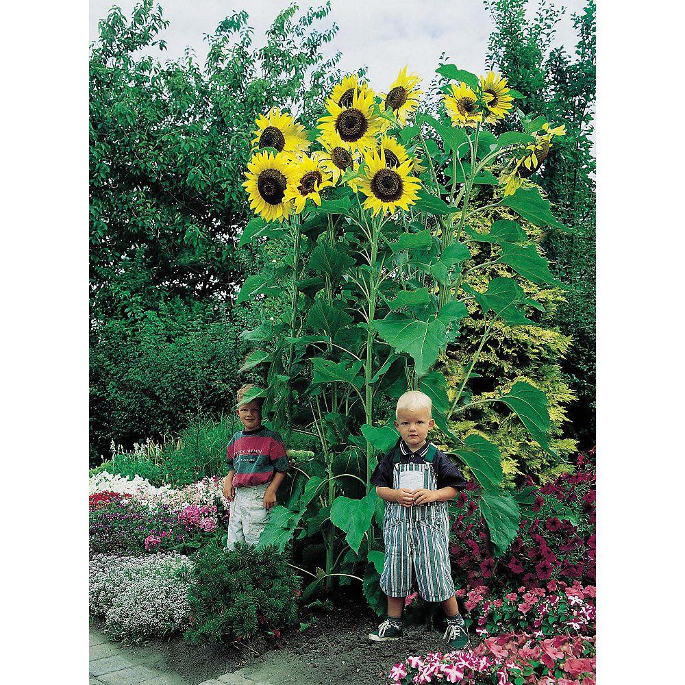 Mr. Fothergill's Seeds Sunflower Giant Single Seeds
