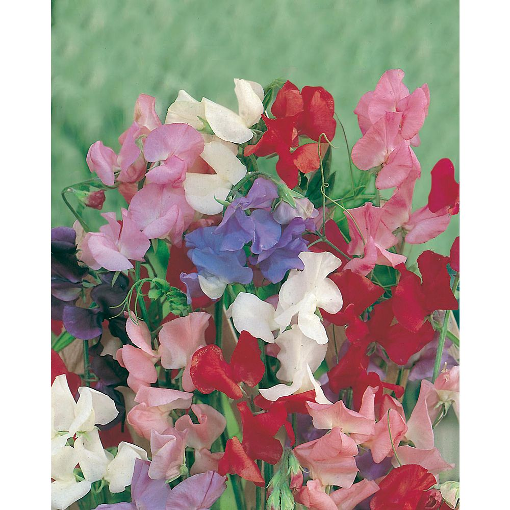 Mr. Fothergill's Seeds Sweet Pea Cuthbertson Mixed Seeds