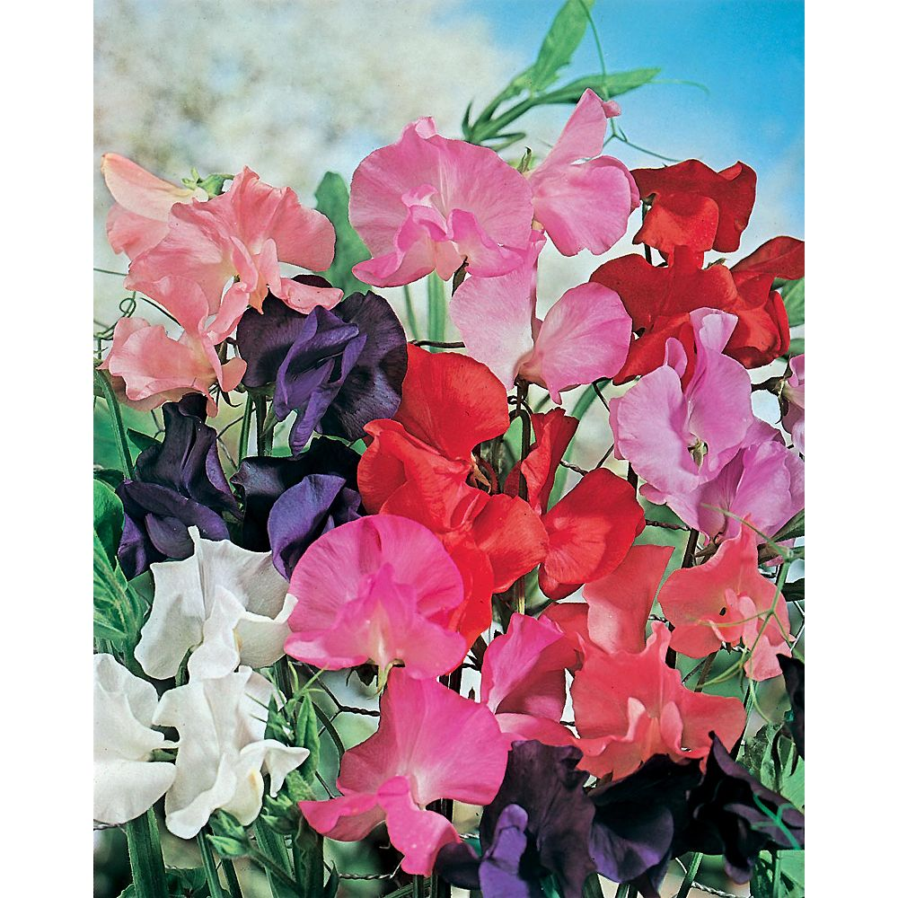 Mr. Fothergill's Seeds Sweet Pea Tall Mixed Seeds