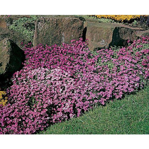 Aubretia Large Flowered Mixture Seeds