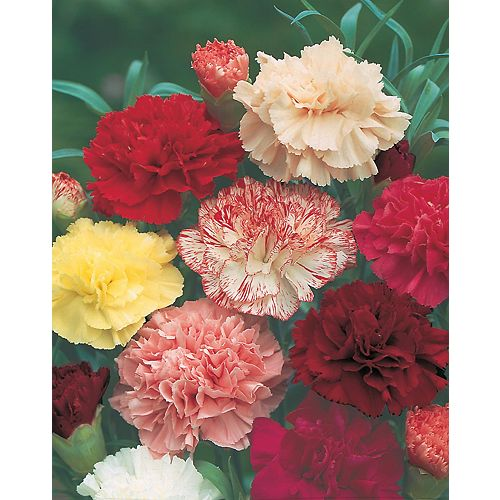 Carnation Choice Double Mixed Seeds