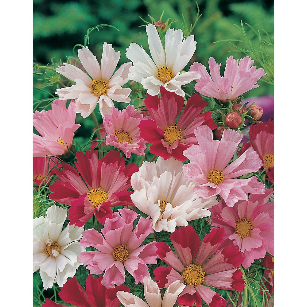 Mr. Fothergill's Seeds Cosmos Seashells Mixed Seeds
