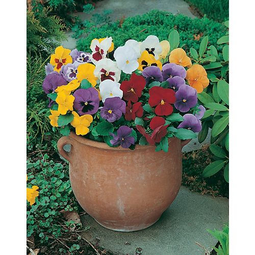 Pansy Early Flowering Seeds