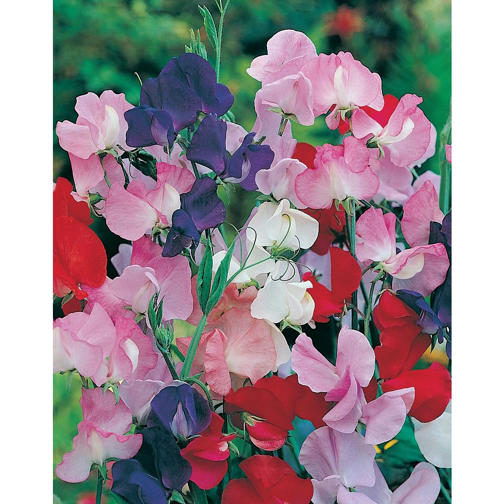 Mr. Fothergill's Seeds Sweet Pea Galaxy Mixed Seeds