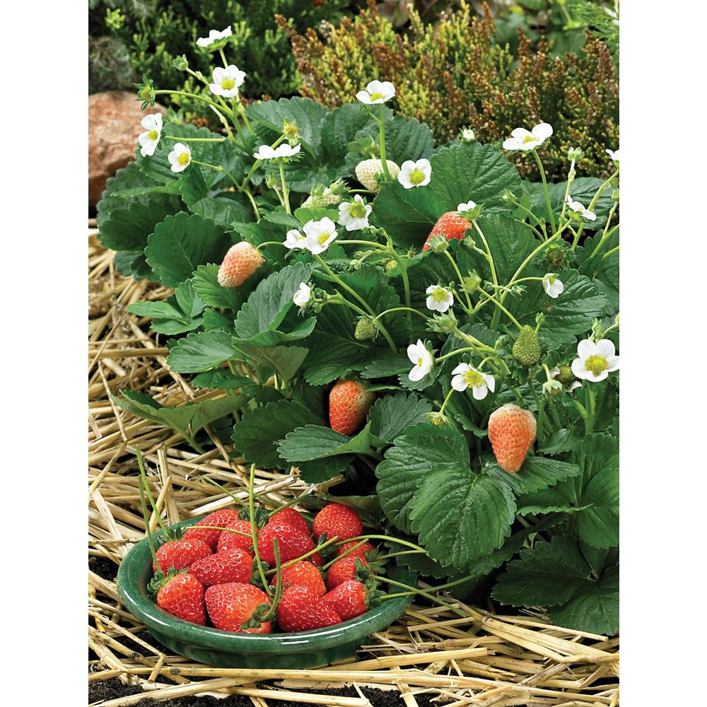 Johnsons Seeds Strawberry Delician Seeds