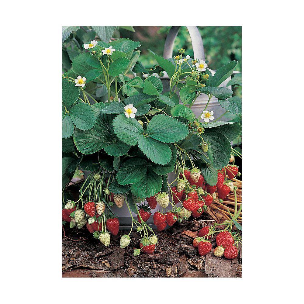 Johnsons Seeds Strawberry Sweet Fresca Seeds