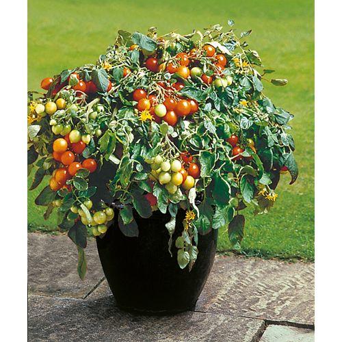 Tomato Tumbler Seeds