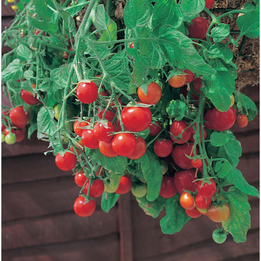 Mr. Fothergill's Seeds Tomato Tubling Tom Red Seeds