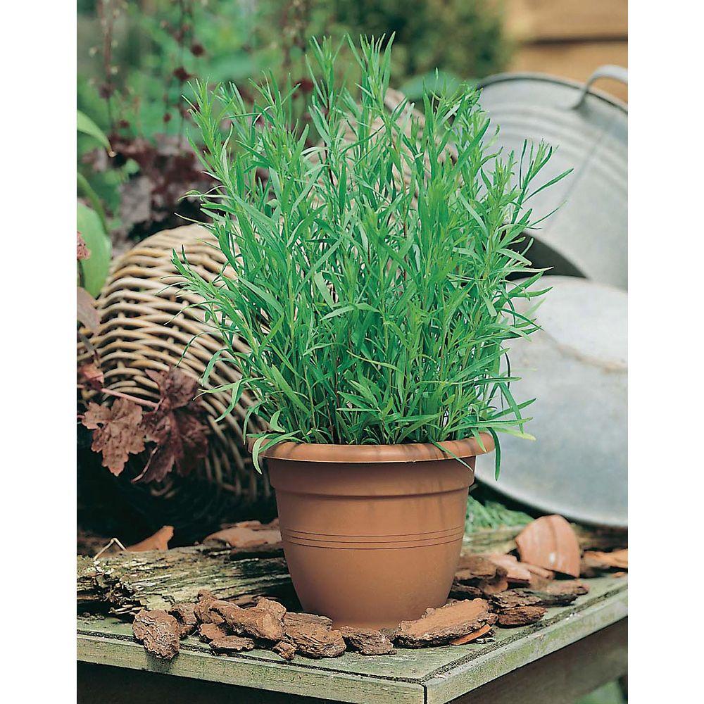 Mr. Fothergill's Seeds Tarragon/Russian Seeds