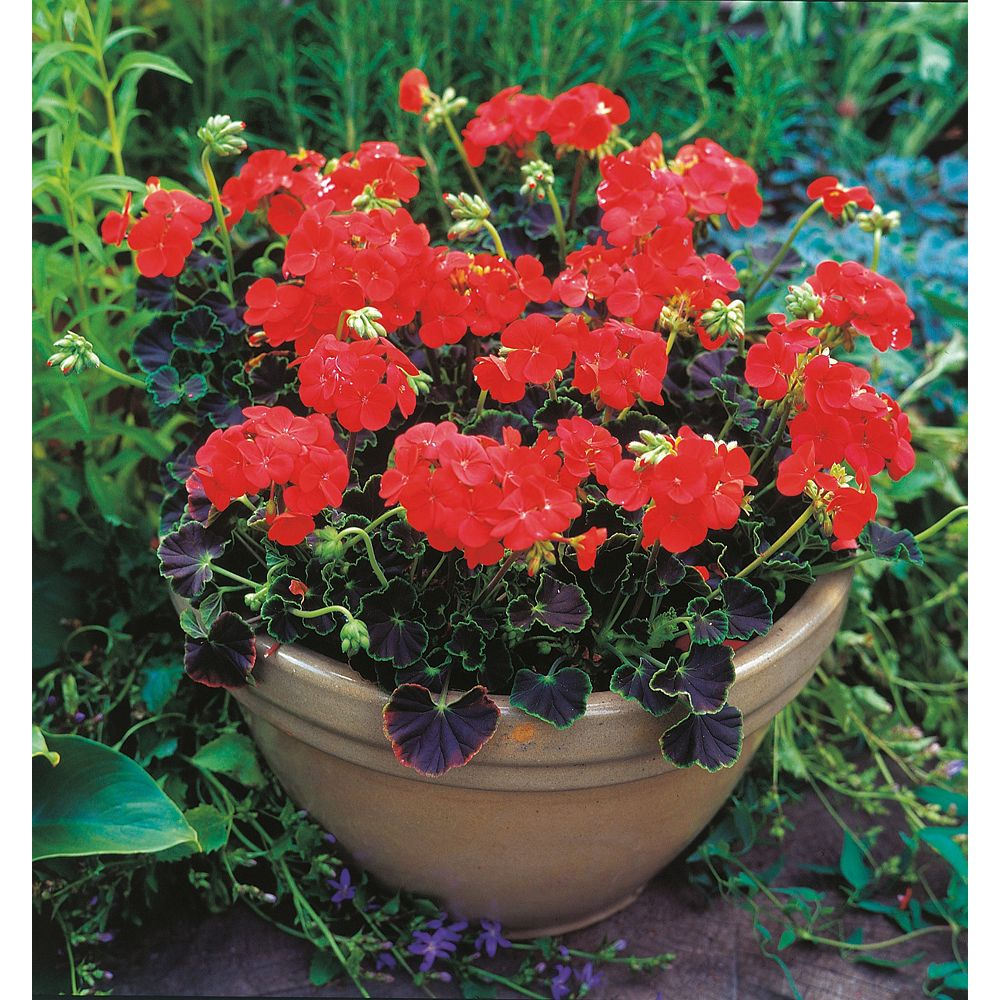 Johnsons Seeds Geranium Black Magic Red F1 Seeds