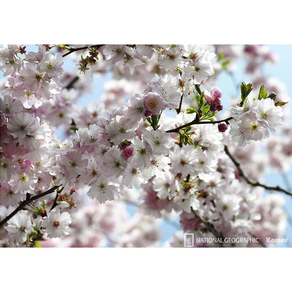 National Geographic Spring Blossom Wall Mural